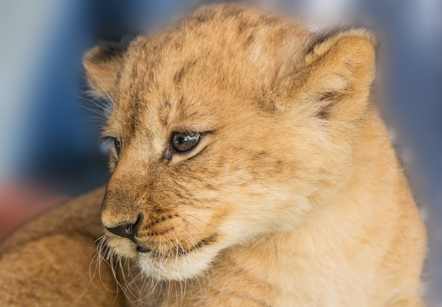 Młode lwy afrykańskie