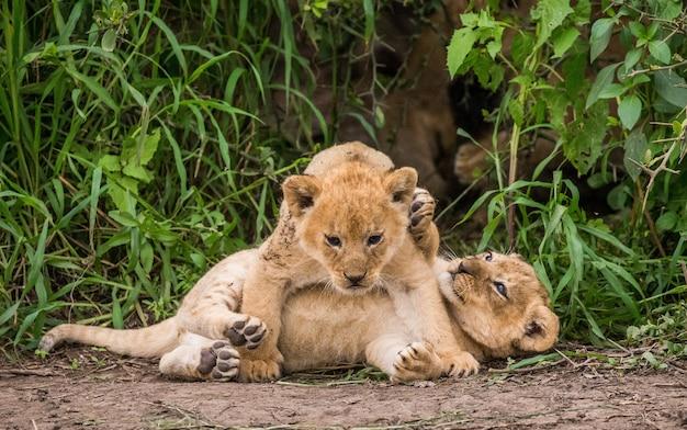 Młode lwy bawiące się na trawie