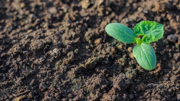 Młode nasadzenia ogórków. warzywa są uprawiane w szklarni na farmie. uprawa żywności ekologicznej.