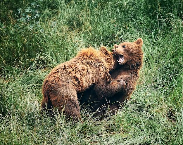Młode niedźwiedzie brunatne walczą w wysokiej zielonej trawie
