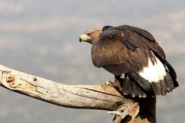 Młode orła przedniego, orłów, ptaków, ptaków drapieżnych