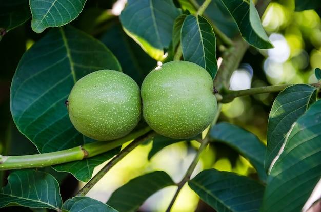 Młode orzechy włoskie rosną na gałęzi