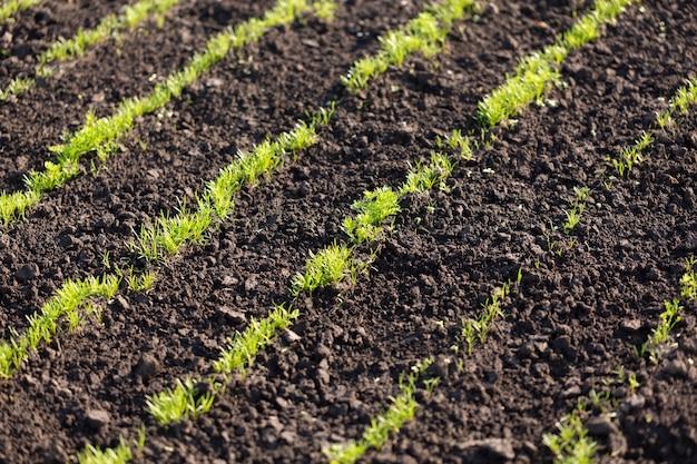 Młode pędy kopru i pietruszki na zaoranej ziemi, koncepcja rolnictwa