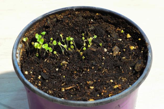 Młode pędy, małe pędy bazyliki kiełkują w plastikowej doniczce.