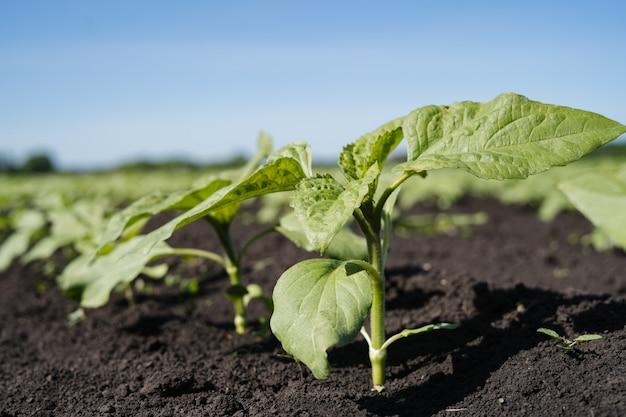 Młode pędy słoneczników na polu gospodarstwa
