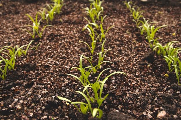 Młode pędy szpinaku w ogrodzie warzywnym. kiełkowanie nasion szpinaku.