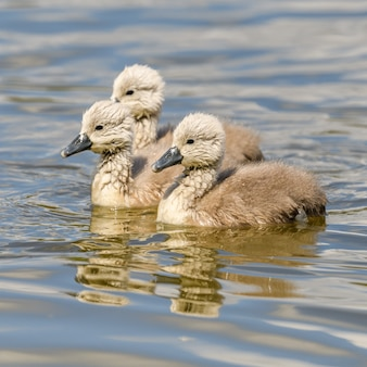 Młode pisklęta łabędź pływanie razem w stawie