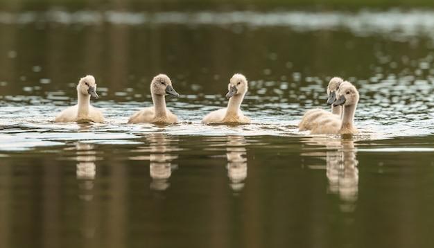 Młode pisklęta łabędzie pływające po jeziorze