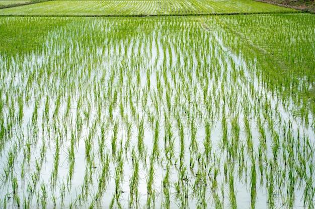 Młode pole ryżowe na wodzie