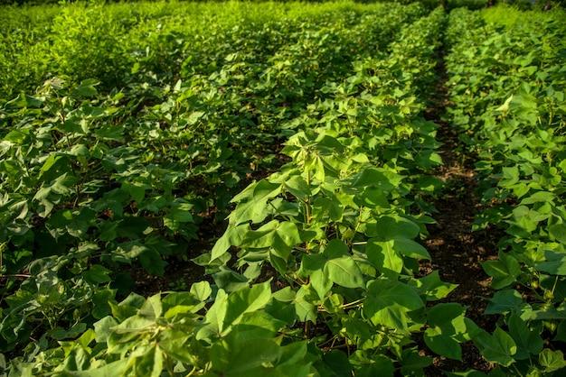 Młode rośliny bawełny rosnące na polu gospodarstwa.