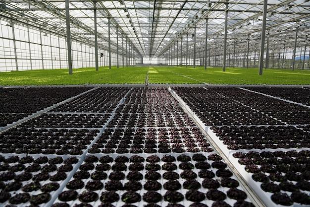 Młode rośliny rosnące w bardzo dużej szklarni handlowej