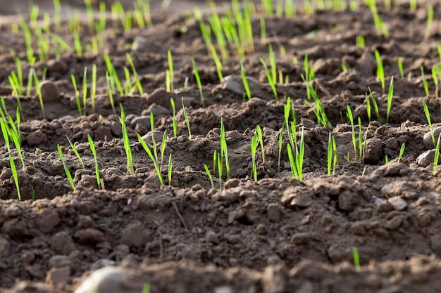 Młode rośliny trawiaste z bliska młode rośliny trawiaste pszenica zielona rosnąca na polu uprawnym, rolnictwo, sezon jesienny,