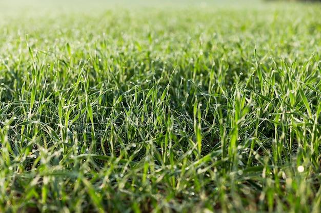 Młode rośliny trawiaste zbliżenie zielona pszenica rosnąca w polu