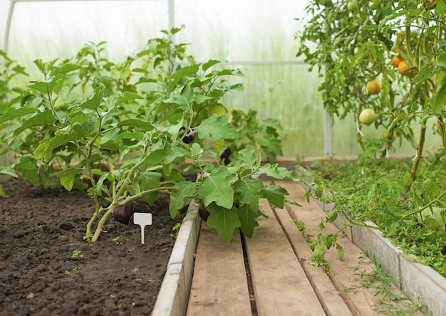 Młode rośliny warzyw bakłażana rosnące w szklarni z bliska, rolnictwo w grecji
