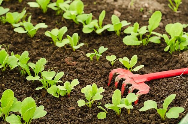 Młode rzodkiewki wyrastają z nasion rosnących w glebie w szklarni.