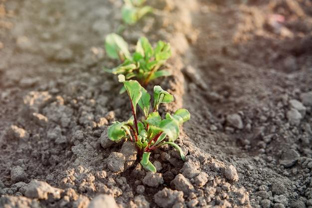 Młode sadzonki buraków w ziemi. ogrodnictwo i zbiory
