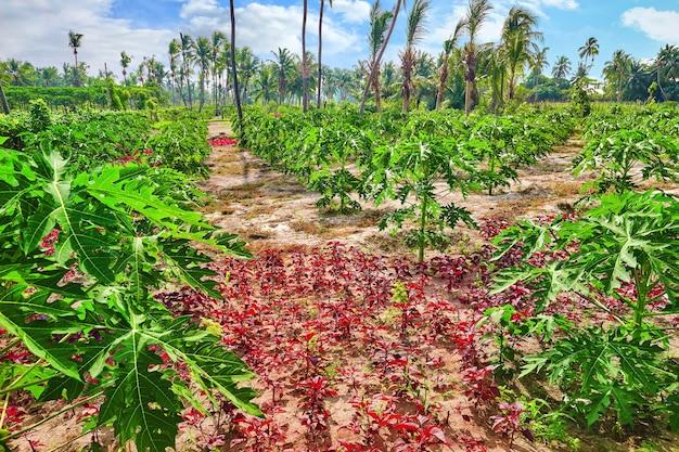 Młode sadzonki papai, na tropikalnej wyspie na malediwach, w środkowej części oceanu indyjskiego.
