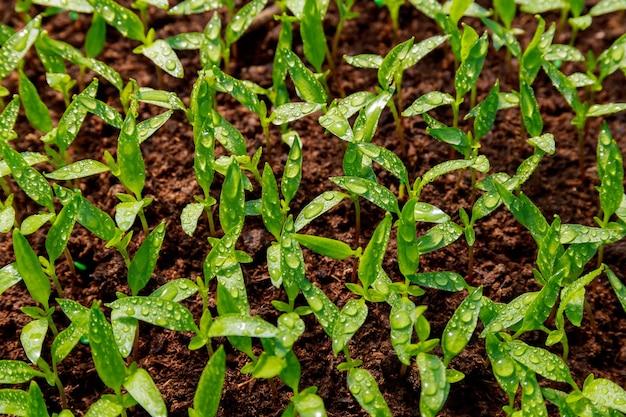 Młode sadzonki papryki. prace ogrodowe. młoda roślina jest gotowa do przesadzenia.
