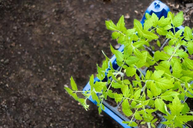 Młode sadzonki pomidorów w doniczkach w szklarni. jak uprawiać jedzenie w domu. kiełkuje zielone rośliny i ogrodnictwo domowe. widok z góry. copyspace dla tekstu