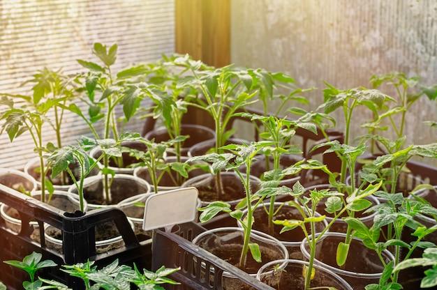 Młode sadzonki pomidorów w szklarni wczesną wiosną. plastikowa tabliczka na napis.