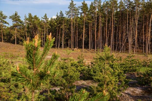 Młode sosny sadzone w miejscu ściętych drzew. młode sosny