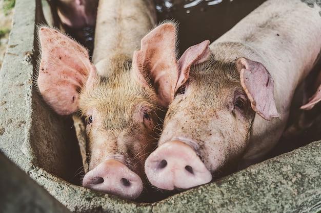 Młode świnie w gospodarstwach wieprzowych, przemysł trzody chlewnej
