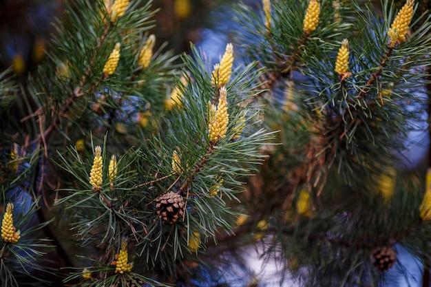 Młode szyszki na gałęzi drzewa