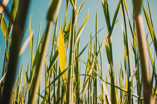Młode trzciny kiełkują w ciepły, słoneczny dzień na tle błękitnego, jasnego nieba.