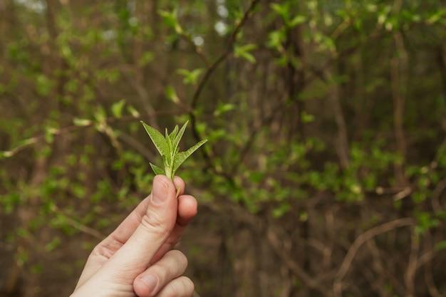 Młode wiosenne liście na gałęziach. świeże zielone liście w dłoni.