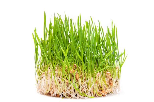 Młode zielone kiełki pszenicy na białym