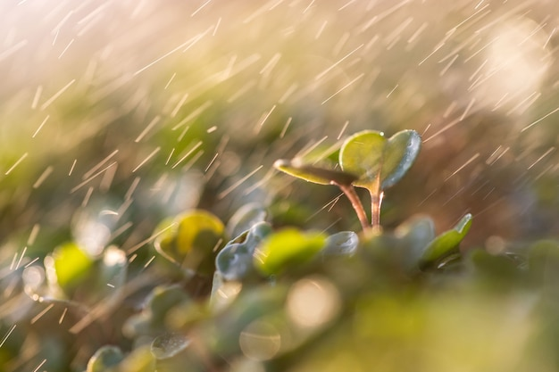 Młode zielone kiełki / sadzonki rukoli pod kroplami deszczu