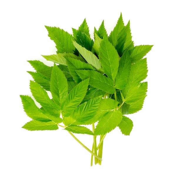 Młode zielone liście aegopodium podagraria.