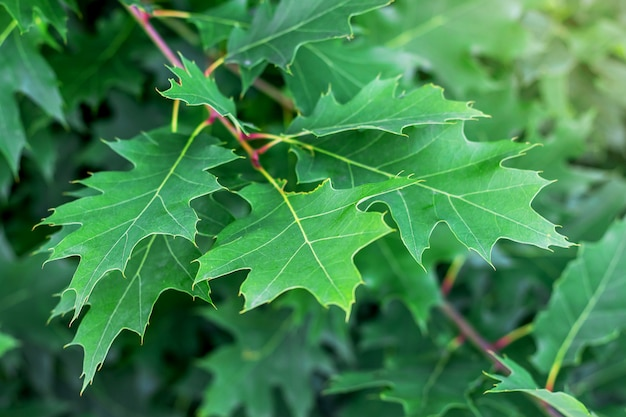 Młode zielone liście czerwonego dębu. letni dzień w lesie