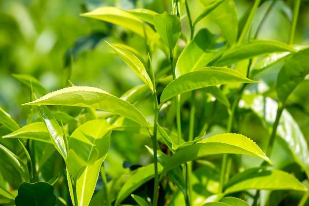 Młode zielone liście i pączek liści drzewa herbacianego na plantacji