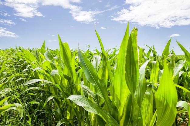 Młode zielone liście kukurydzy