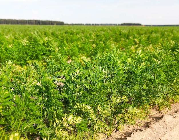 Młode zielone marchewki wierzchołki na polu uprawnym