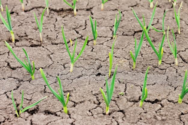 Młode zielone pędy czosnku w popękanej ziemi