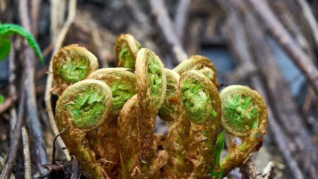 Młode zielone pędy paproci. zielone loki. soczi, rosja