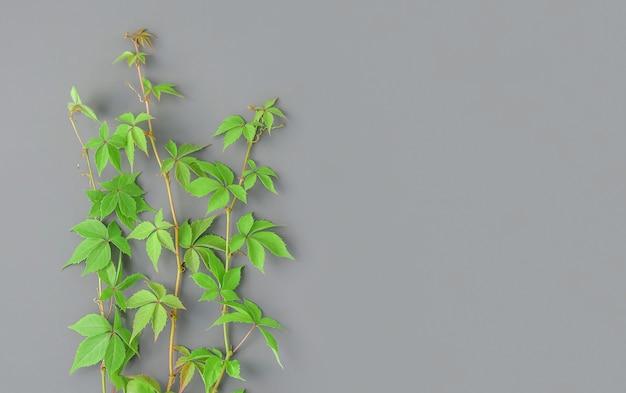 Młode zielone pędy rośliny z liśćmi na szarym tle
