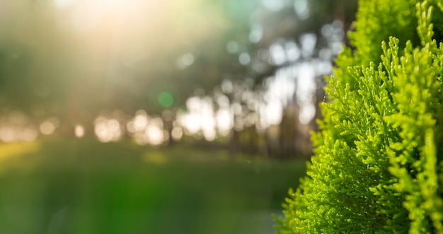 Młode zielone soczyste igły tui, selektywne focus, zbliżenie. z miejscem na tekst