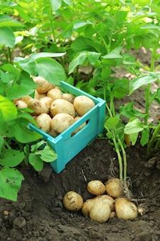 Młode ziemniaki w drewnianej skrzyni na tle gleby