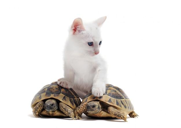 Młode żółwie i kot