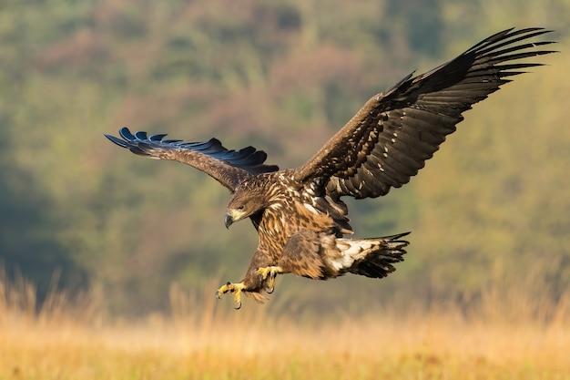 Młodego orła bielika polującego w locie na łące w jesiennej przyrodzie
