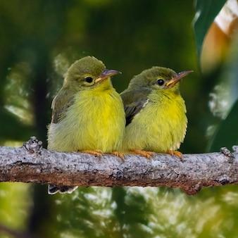 Młodociany ptak z brązowogardłym słońcem