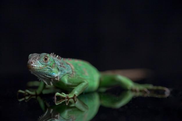 Młodocianych legwan zielony na białym tle na czarnym tle