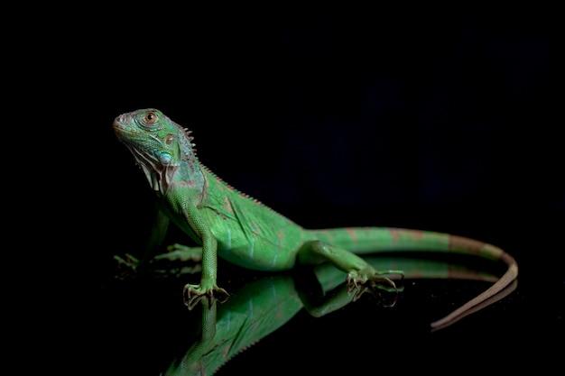 Młodocianych Legwan Zielony Na Białym Tle Na Czarnym Tle Premium Zdjęcia