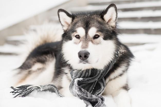 Młody alaskan malamute leżący w szarym szaliku w śniegu. pies zima.