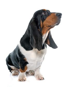 Młody basset hound