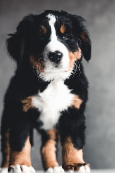Młody berneński pies pasterski