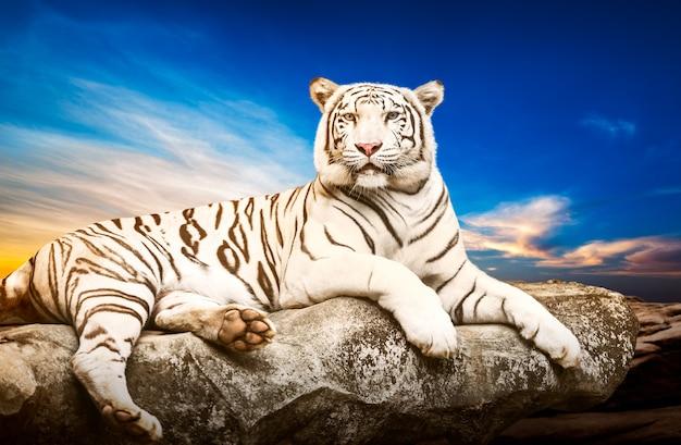 Młody biały tygrys syberyjski w akcie relaksu na kamieniu na naturalnym tle zachodu słońca